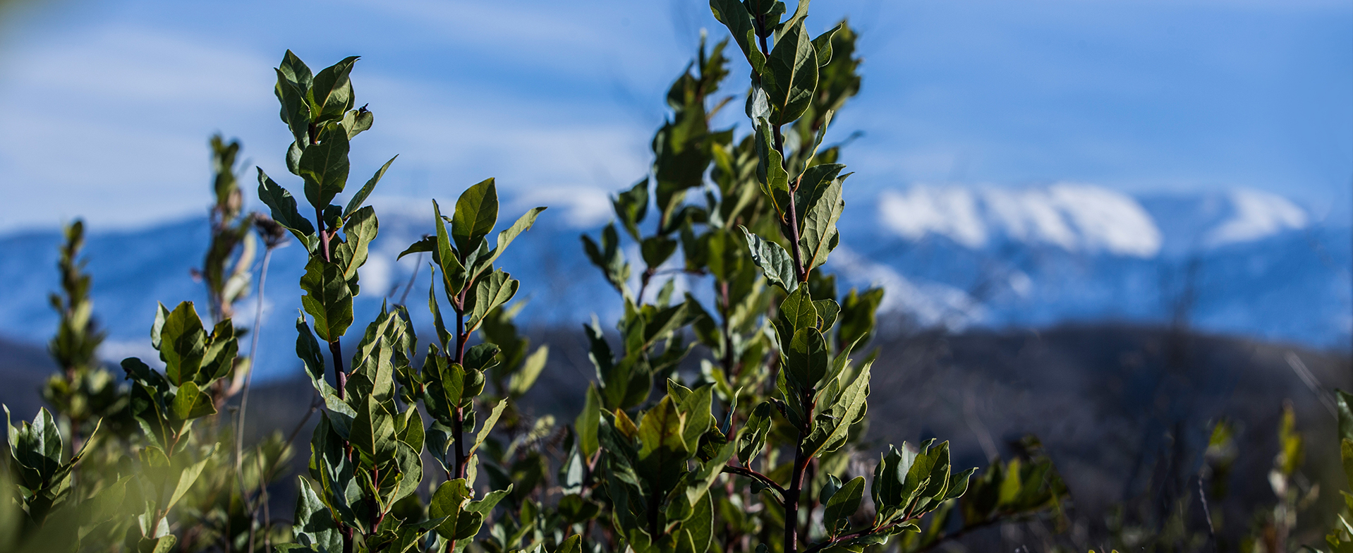BAY LEAVES WITH MOUNTAINS IN THE BACKROUND